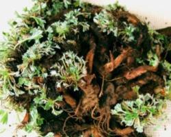 Pasuchaca Plant